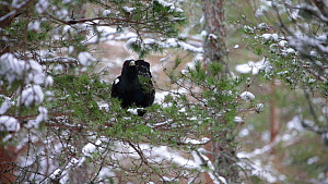 Capercaillie (Tetrao urogallus) feeding in a Scots pine tree (Pinus sylvestris), Cairngorms National Park, Scotland, UK, February. - SCOTLAND: The Big Picture