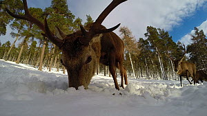 Close up of a Red deer (Cervus elaphus) stag feeding in snow, Cairngorms National Park, Scotland, UK, February.  -  SCOTLAND: The Big Picture