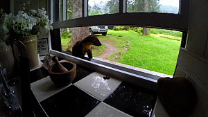 Pine marten (Martes martes) entering a kitchen through a window to feed, Ardnamurchan Peninsula, Lochaber, Scotland, UK, February. - SCOTLAND: The Big Picture