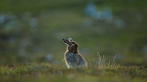 Mountain hare (Lepus timidus) grooming on heather moorland, Cairngorms National Park, Scotland, UK, June.  -  SCOTLAND: The Big Picture