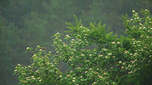 Rowan (Sorbus aucuparia) in blossom in heavy rain, Cairngorms National Park, Scotland, UK, June. - SCOTLAND: The Big Picture