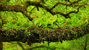 Common polypody (Polypodium vulgare) growing on the branch of an Oak tree (Quercus), Airundle National Nature Reserve, Ardnamurchan Peninsula, Lochaber, Scotland, UK, June.  -  SCOTLAND: The Big Picture