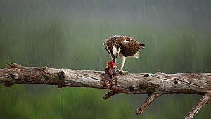 Male Osprey (Pandion haliaetus) perched on a branch, feeding on fish prey in the rain, Cairngorms National Park, Scotland, UK, June.  -  SCOTLAND: The Big Picture