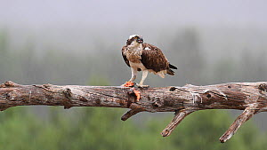 Male Osprey (Pandion haliaetus) perched on a branch with fish prey, shaking rain from feathers, Cairngorms National Park, Scotland, UK, June.  -  SCOTLAND: The Big Picture