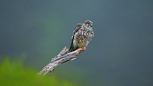 Female Merlin (Falco columbarius) preening, Cairngorms National Park, Scotland, UK, June. - SCOTLAND: The Big Picture