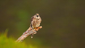 Female Merlin (Falco columbarius) vocalising and taking off, Cairngorms National Park, Scotland, UK, June.  -  SCOTLAND: The Big Picture