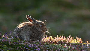 Mountain hare leveret (Lepus timidus) grooming amongst flowering heather, Cairngorms National Park, Scotland, UK, August. - SCOTLAND: The Big Picture