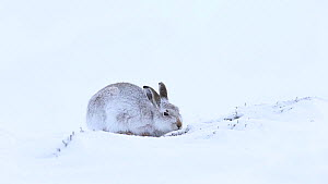 Mountain hare (Lepus timidus) feeding on heather shoots in snow, Cairngorms National Park, Scotland, UK, January.  -  SCOTLAND: The Big Picture