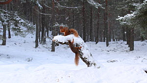 Red squirrels (Sciurus vulgaris) competing to feed on a snow-covered stump in pine woodland, Scotland, UK, February.  -  SCOTLAND: The Big Picture