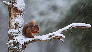 Red squirrel (Sciurus vulgaris) feeding, sat on a branch in heavily falling snow, Scotland, UK, March.  -  SCOTLAND: The Big Picture