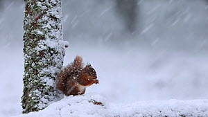 Red squirrel (Sciurus vulgaris) feeding at the base of a tree in heavily falling snow, Scotland, UK, March.  -  SCOTLAND: The Big Picture