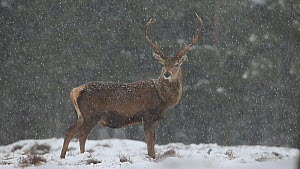 Red deer (Cervus elaphus) stag standing in falling snow blizzard on edge of pine forest, Cairngorms National Park, Scotland, UK, March.  -  SCOTLAND: The Big Picture