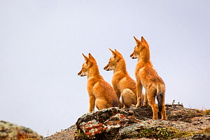 Three Ethiopian wolf (Canis simensis) pups waiting for their parents to return, Ethiopia. - Will Burrard-Lucas