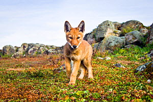 Ethiopian wolf (Canis simensis) pup, approaching remote camera, Web Valley, Bale Mountains National Park, Ethiopia. - Will Burrard-Lucas