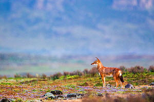 Ethiopian wolf (Canis simensis) scanning the surroundings while patrolling the pack's territory, Ethiopia, November. - Will Burrard-Lucas