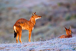 Ethiopian wolf (Canis simensis) stretching as it wakes up, Web Valley, Ethiopia.  -  Will Burrard-Lucas