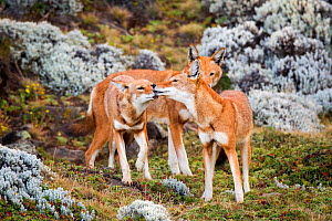 Ethiopian wolves (Canis simensis) individual from the BBC pack greeting each other after returning from hunting, Ethiopia. - Will Burrard-Lucas