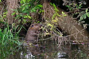 Young Eurasian beaver (Castor fiber) feeding on a willow branch overhanging the River Otter at dusk, part of a release project managed by the Devon Wildlife Trust, Devon, England, UK, August 2015.  -  Nick Upton