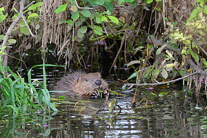 Eurasian beaver (Castor fiber) kit feeding on Willow (Salix), born in the wild on the River Otter, part of a release project managed by the Devon Wildlife Trust, Devon, England, UK, August 2015.  -  Nick Upton