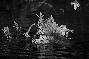 Eurasian beaver (Castor fiber) kit feeding on Willow (Salix) leaves at night, born in the wild on the River Otter, part of a release project managed by the Devon Wildlife Trust, Devon, England, UK, Au...  -  Nick Upton