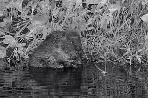Two Eurasian beaver (Castor fiber) kits feeding on Willow (Salix) at night, born in the wild on the River Otter, part of a release project managed by the Devon Wildlife Trust, Devon, England, UK, Augu...  -  Nick Upton