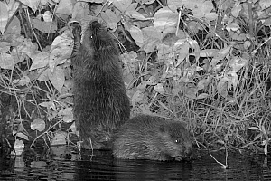 Two Eurasian beaver (Castor fiber) kits feeding at night, born in the wild on the River Otter, part of a release project managed by the Devon Wildlife Trust, Devon, England, UK, August 2015.  -  Nick Upton