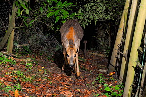 Female Roe deer (Capreolus capreolus) entering a garden through a break in a fence at night, Wiltshire, England, UK, May. Taken with a remote camera.  -  Nick Upton