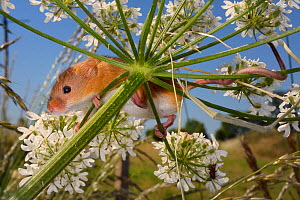 Harvest mouse (Micromys minutus) clinging to a Common hogweed (Heracleum sphondylium) flowerhead with its feet and tail after release, Moulton, Northampton, UK, June.  -  Nick Upton