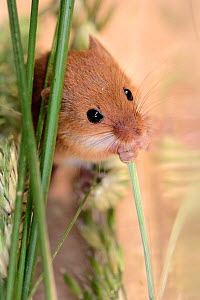 Harvest mouse (Micromys minutus) nibbling a grasss stem in a captive colony prior to release at a field site, Moulton College, Northampton, UK, June.  -  Nick Upton