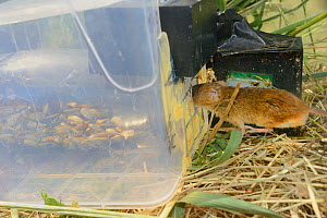 Microchipped Harvest mouse (Micromys minutus) entering a grain feeding station equipped with an automatic Radio Frequency Identification (RFID) monitor which logs visits by released mice in field site...  -  Nick Upton