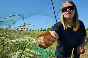 Emily Howard-Williams releasing a Harvest mouse (Micromys minutus) in a field enclosure to study dispersal and monitoring techniques, Moulton, Northampton, UK, June.  Model released.  -  Nick Upton