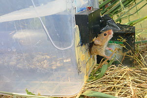 Microchipped Harvest mouse (Micromys minutus) leaving a grain feeding station equipped with an automatic Radio Frequency Identification (RFID) monitor which logs visits by mice after release into a fi...  -  Nick Upton