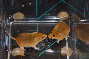Two Harvest mice (Micromys minutus) from a captive colony selected for release at a field site, Moulton College, Northampton, UK, June.  -  Nick Upton