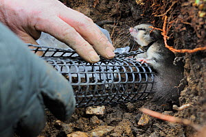 Exit tube fitted to the hibernation burrow of  an Edible / Fat Dormouse (Glis glis) after replacing it during a survey in woodland where this European species has become naturalised, Buckinghamshire,...  -  Nick Upton