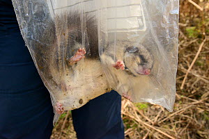 Sleepy Edible / Fat Dormouse (Glis glis) excavated from its winter hibernation burrow being weighed during a survey in woodland where this European species has become naturalised, Buckinghamshire, UK,...  -  Nick Upton