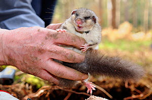 Sleepy, radio-collared Edible / Fat Dormouse (Glis glis) excavated from its winter hibernation burrow held during a survey in woodland where this European species has become naturalised, Buckinghamshi... - Nick Upton