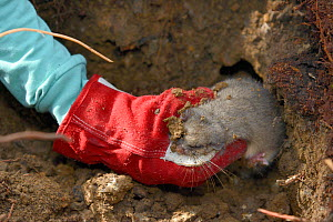 Radio-collared Edible / Fat Dormouse (Glis glis) being taken from its winter hibernation burrow during a survey in woodland where this European species has become naturalised, Buckinghamshire, UK, Apr...  -  Nick Upton