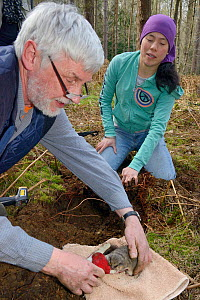 Roger Trout and Jia Min Lim with an Edible / Fat Dormouse (Glis glis) excavated from its winter hibernation burrow in woodland where this European species has become naturalised, Buckinghamshire, UK,...  -  Nick Upton