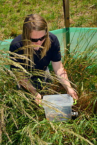 Emily Howard-Williams placing a grain feeding station equipped with an automatic Radio Frequency Identification (RFID) monitor to survey Harvest mice (Micromys minutus) in a field enclosure after rele... - Nick Upton