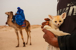 Fennec fox (Vulpes zerda) few-weeks old pup caught in the wild and shown at a famous camel trekking site for tourists in the hope of either selling it or being paid for photos, Kebili Governorate. Tun...  -  Bruno D'Amicis