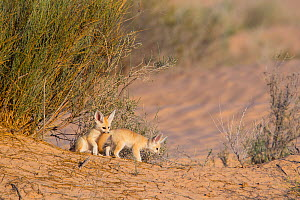 Fennec fox (Vulpes zerda) pups playing outside of burrow, Grand Erg Oriental, Kebili Governorate. Tunisia. - Bruno D'Amicis