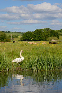 Mute swan pair (Cygnus olor) standing on the banks of the River Avon with cattle grazing in the background, Downton, Wiltshire, UK, June.  -  Nick Upton