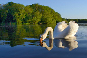Mute swan (Cygnus olor) cob drinking in sunset light with its wings raised in a territorial display, Coate Water, Wiltshire, UK, June.  -  Nick Upton