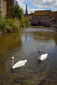 Mute swan pair (Cygnus olor) swimming on the River Avon, Salisbury with the cathedral in the background, Wiltshire, UK, June. - Nick Upton