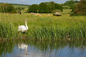 Mute swan (Cygnus olor) cob standing on the banks of the River Avon with cattle grazing in the background, Downton, Wiltshire, UK, June.  -  Nick Upton