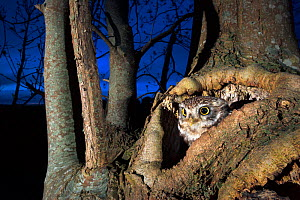 Little owl (Athene noctua) female emerging from the hollow in pollard ash tree at night, Thierache, France, May.  -  Joris  van Alphen