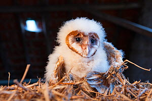 Barn owl (Tyto alba) chick, removed from nest for inspection. Thierache, France, August.  -  Joris  van Alphen
