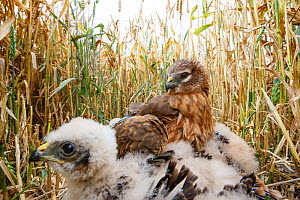 Montagu's harrier (Circus pygargus) mother attempting to shelter her chicks from the rain, Flevoland, the Netherlands. July. - Joris  van Alphen
