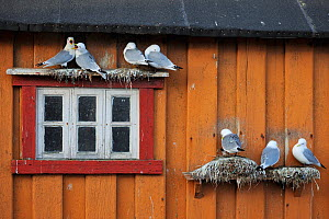 Kittiwakes (Rissa tridactyla) nesting on wall of house, Vardo town, Varanger Peninsula, Norway, March. - Staffan Widstrand