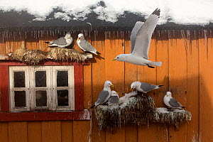 Kittiwake (Rissa tridactyla) breeding on house wall, Norway, March. - Pal Hermansen